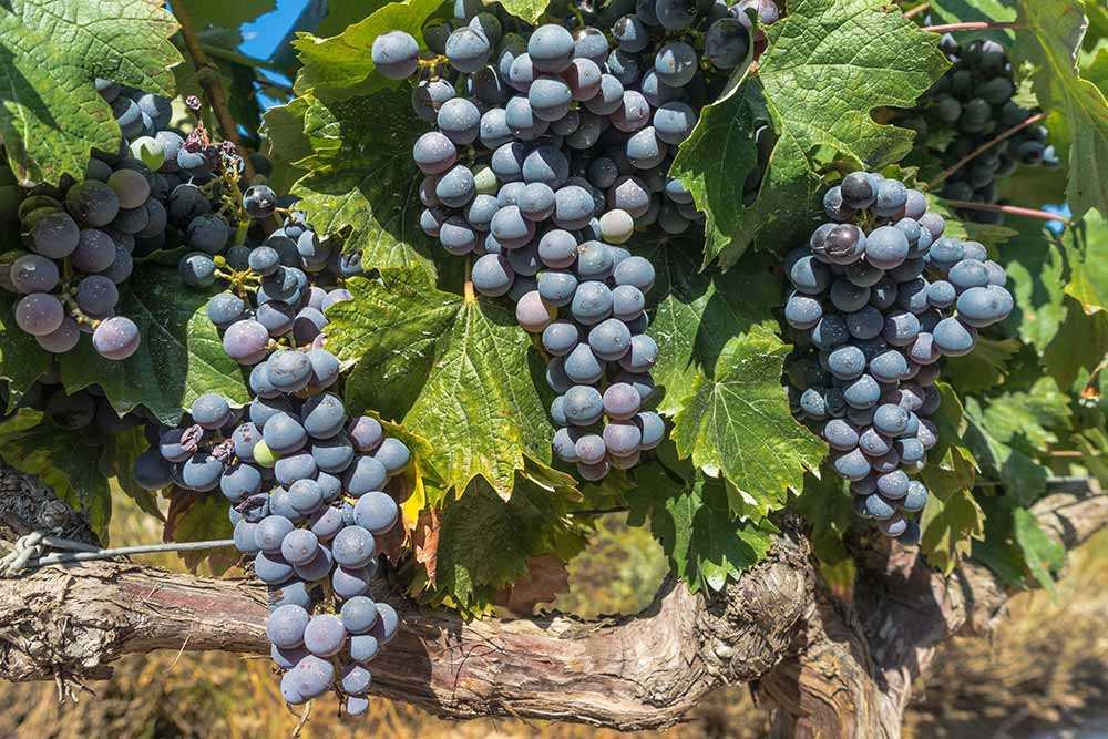 Merlot Rotwein Deutschland