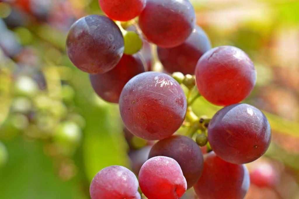 Portugieser Rotwein aus Deutschland