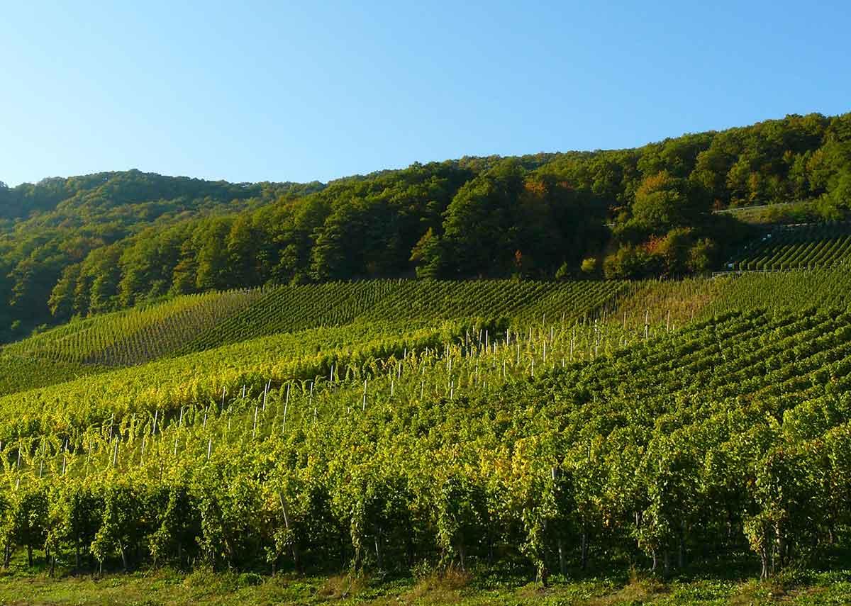 Weinanbaugebiet Ahr Rotwein aus Deutschland