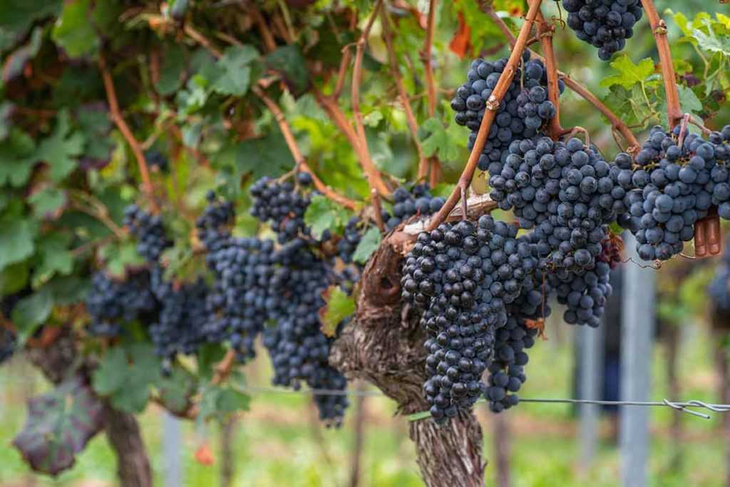Weinanbaugebiet Pfalz Rotwein aus Deutschland